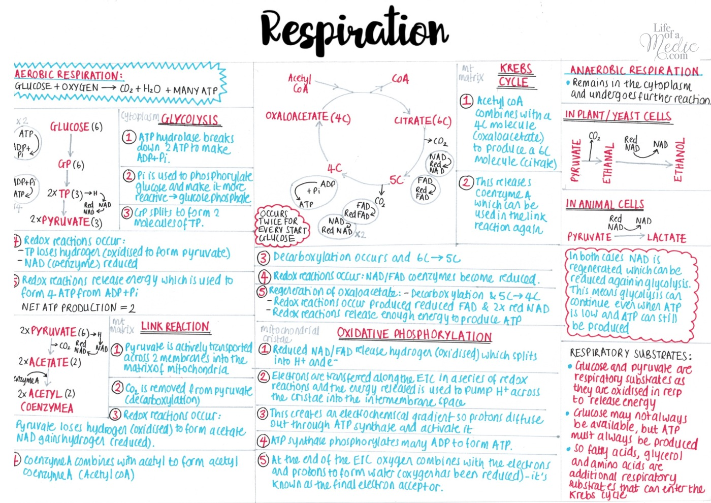 Respiration - A level Biology 1-page summary